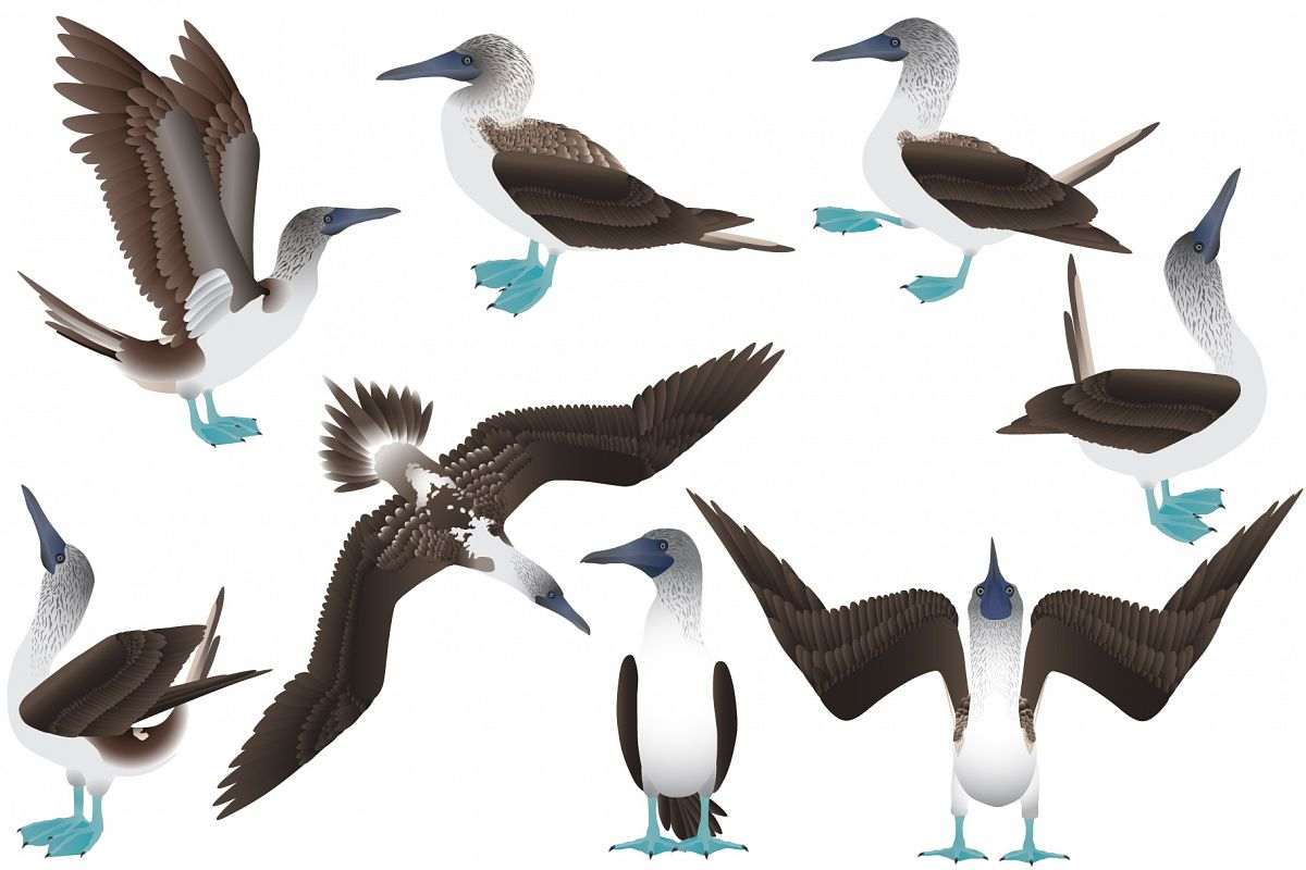 Blue-footed booby example image 1