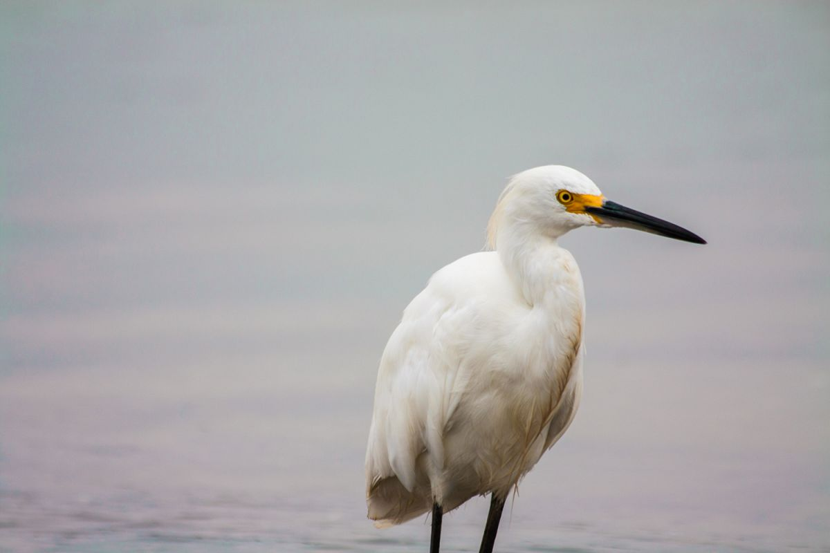 White heron photo 5 example image 1