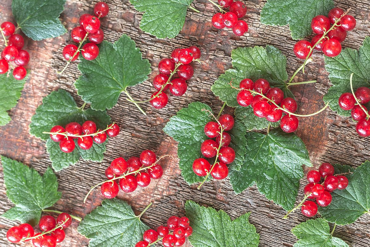 Black and red currant example image 1