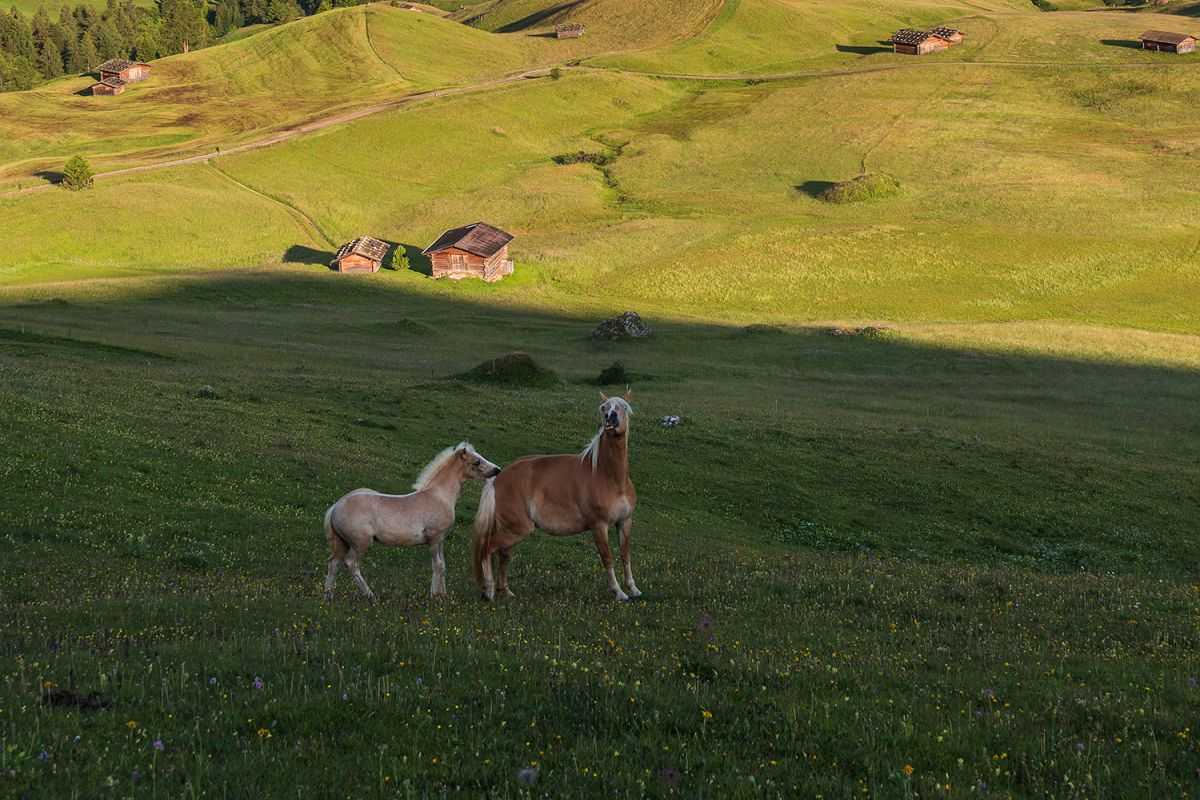 Horses at Seiser Alm example image 1
