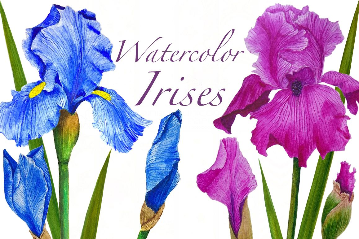 Watercolor flowers irises example image 1
