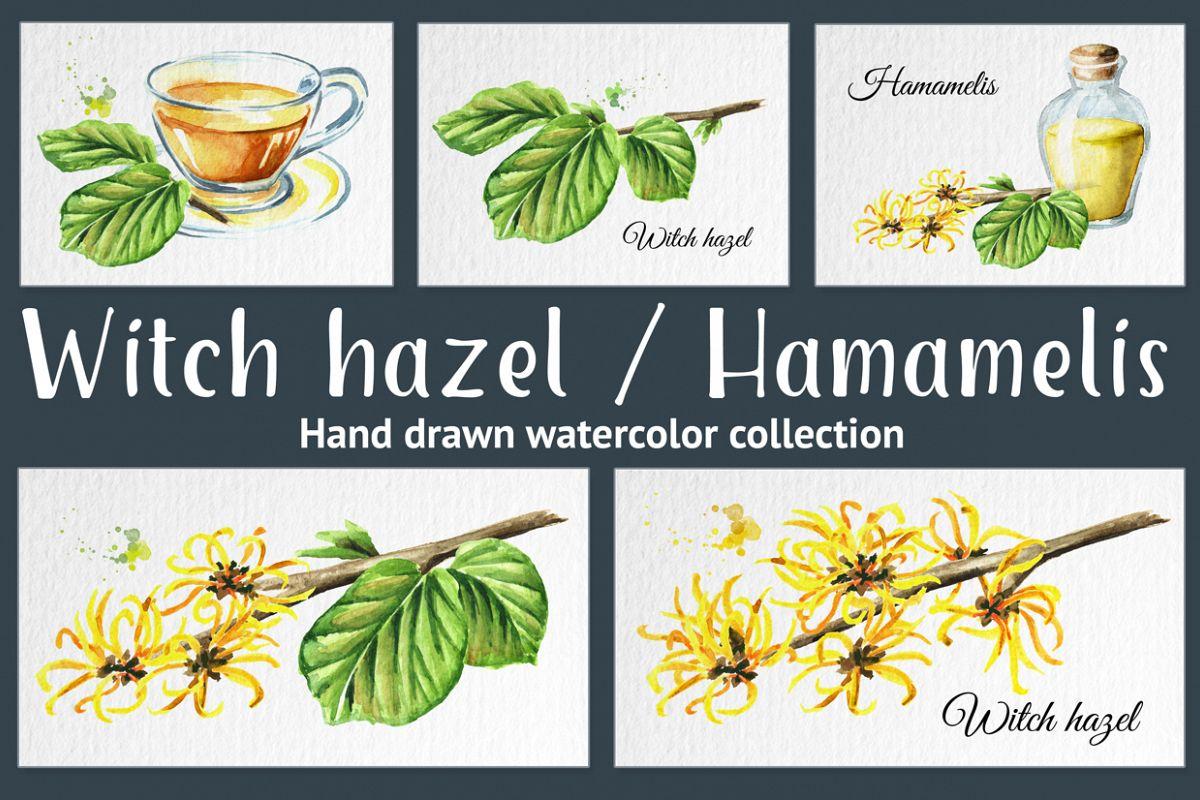 Witch Hazel Hamamelis