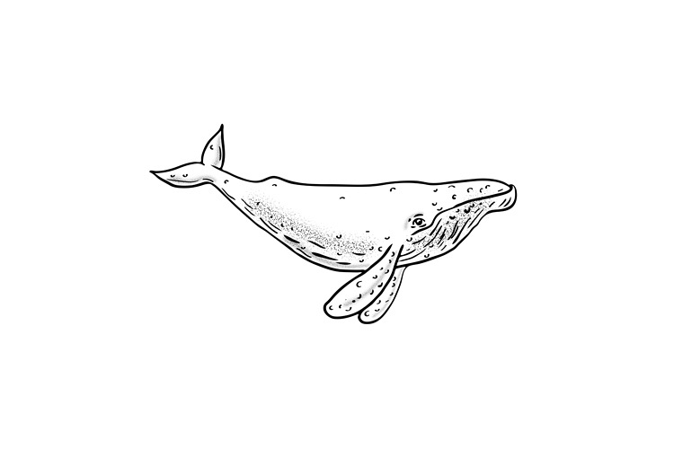 Humpback Whale Drawing Side example image 1