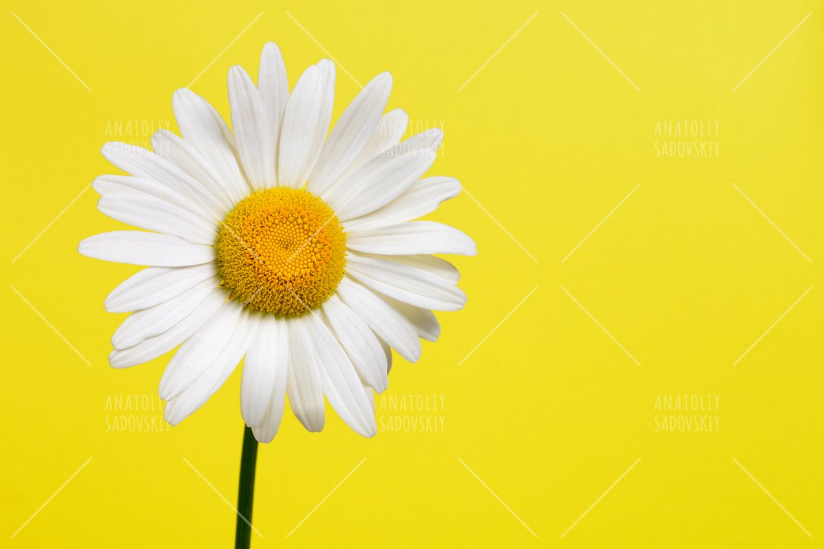 Daisy flower on yellow background daisy flower on yellow background example image 1 izmirmasajfo