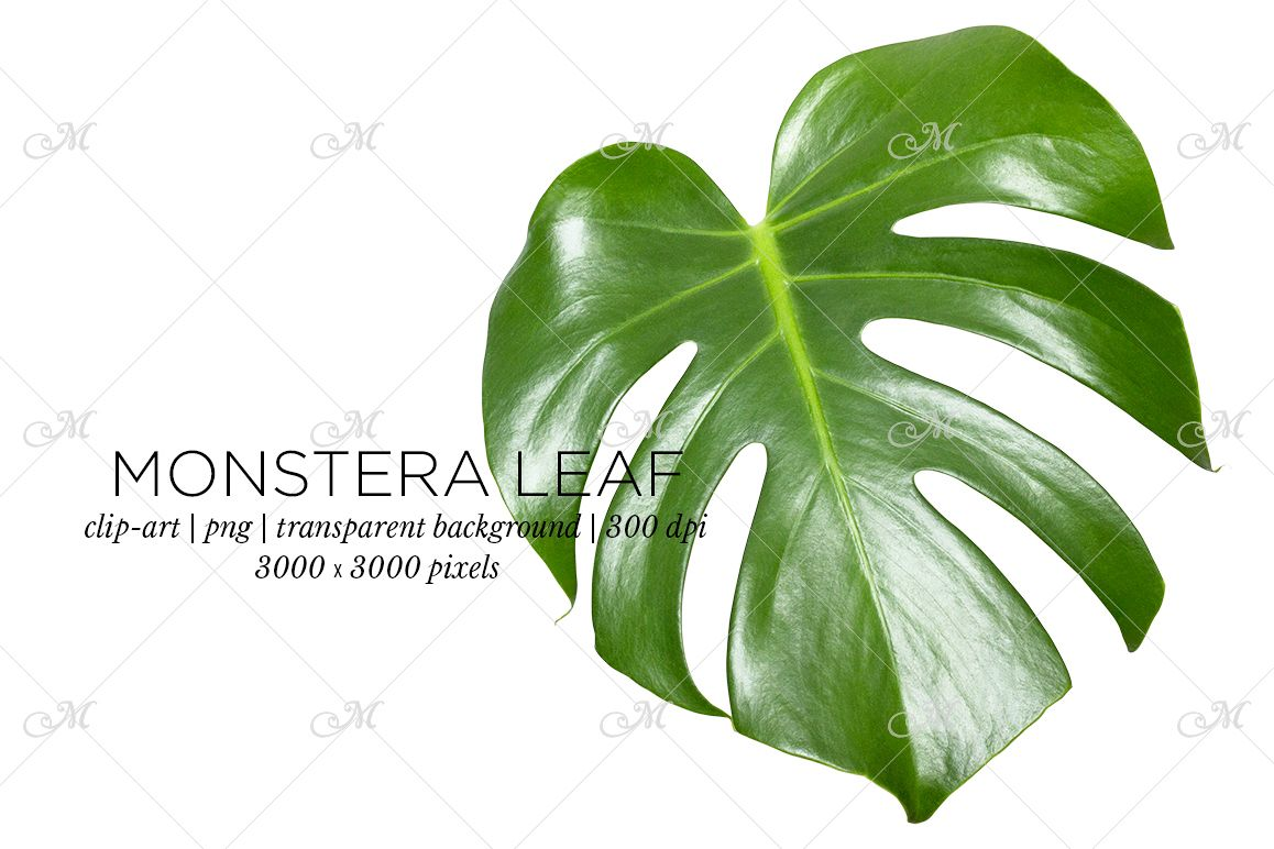 Monstera Leaf Photo Clip-art example image 1