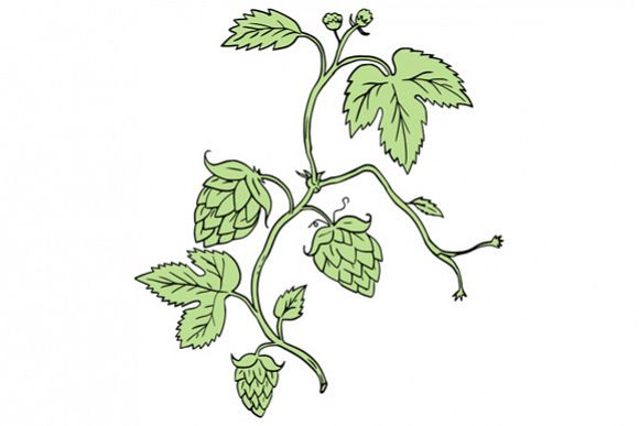 Hop Plant Climbing Drawing example image 1