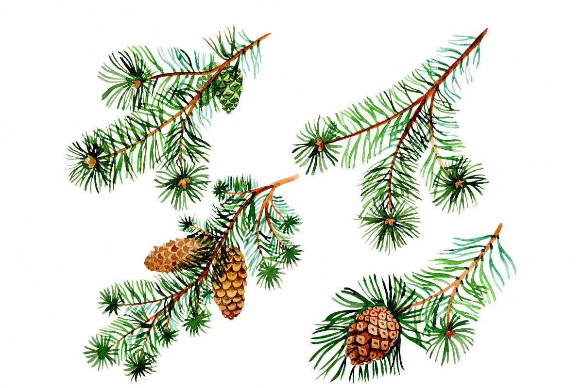 Branches of spruce and pine png watercolor set example image 1