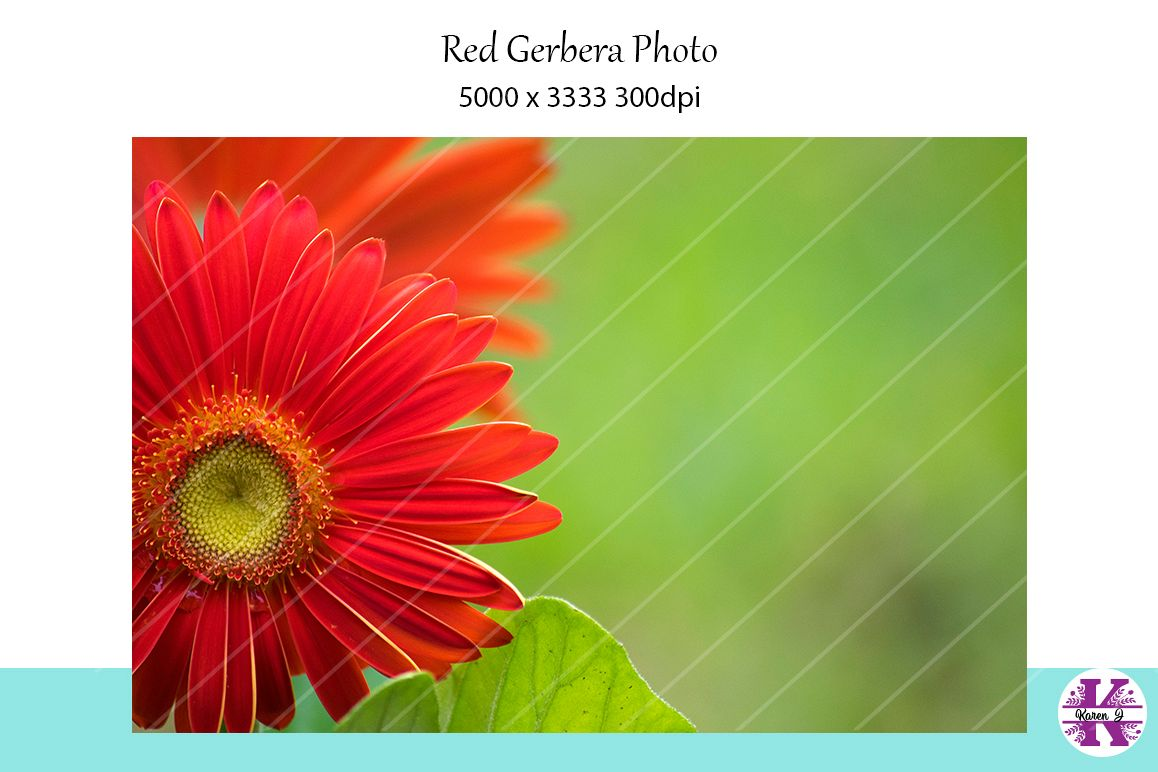 Red Gerbera Photo example image 1