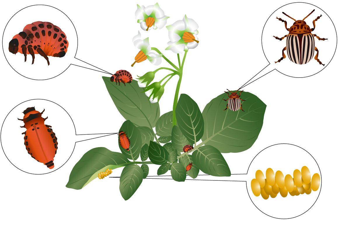 Colorado beetle example image 1