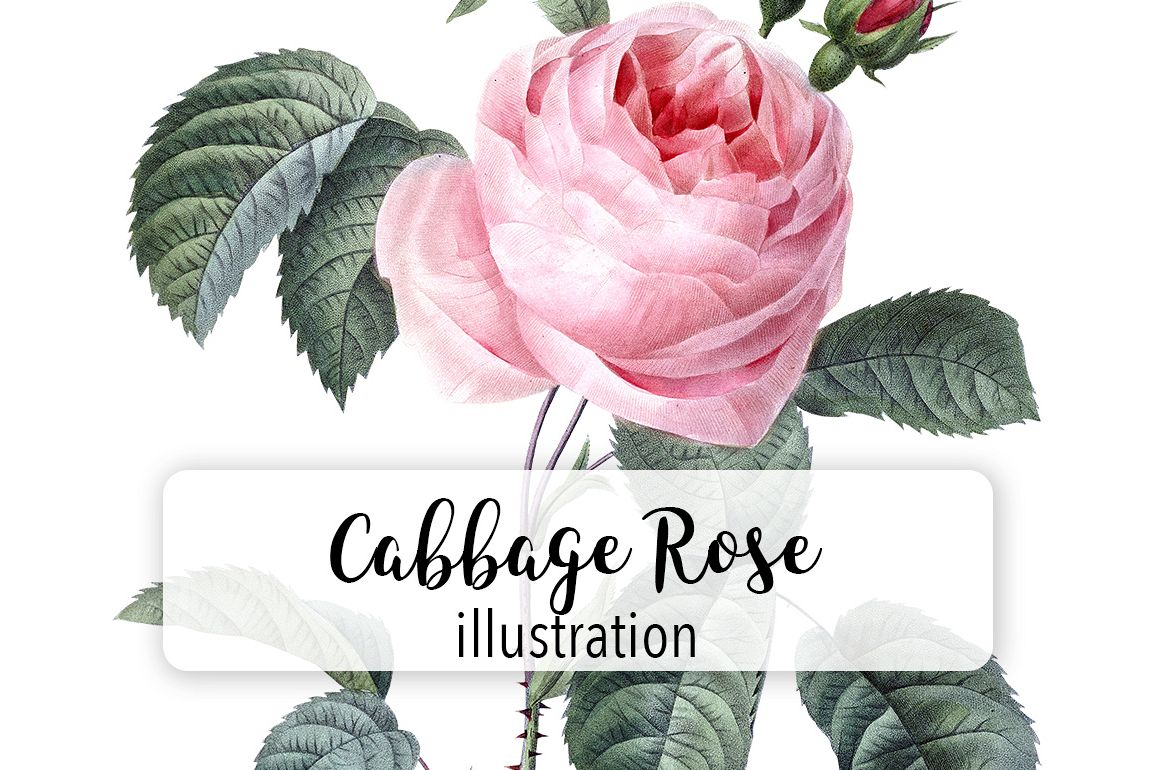 Pink Rose Vintage Pink Cabbage Rose Flowers