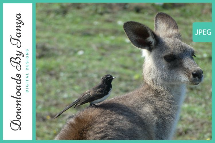 Australian Kangaroo with bird photo example image 1