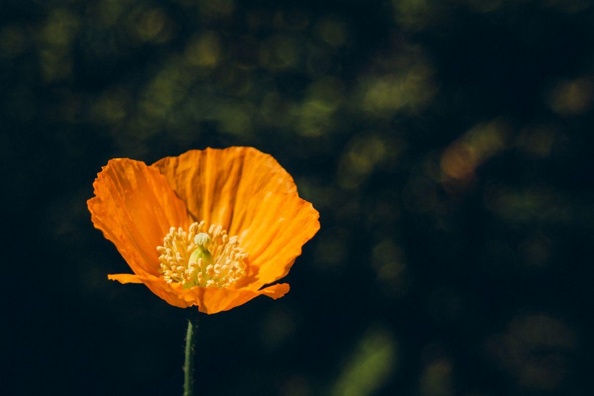 Poppy flower photo 4 example image 1