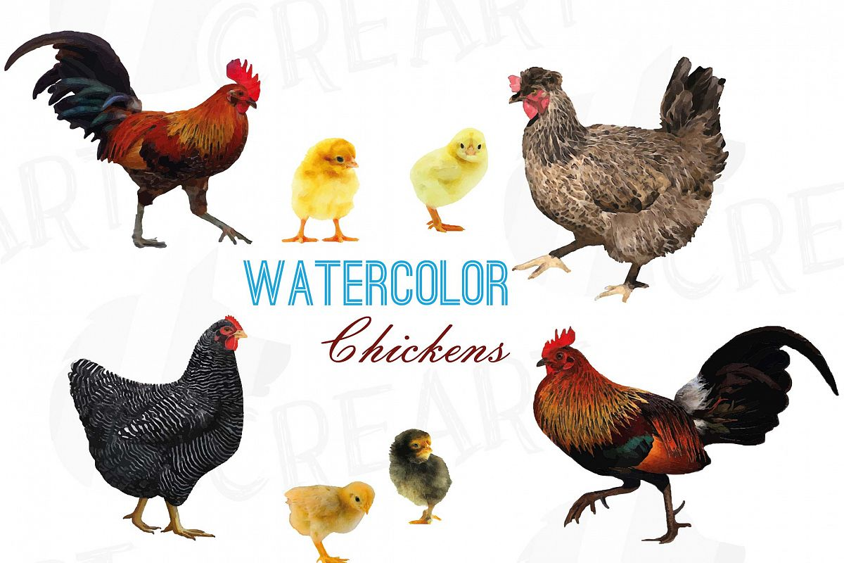 Chicken watercolor. Chickens clip art collection