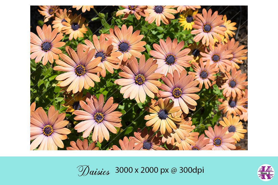Daisies Photo jpg example image 1