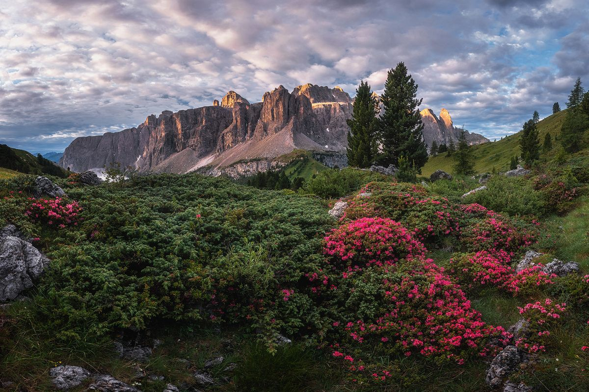 Rhododendron flowers above the Val Gardena mountain pass example image 1