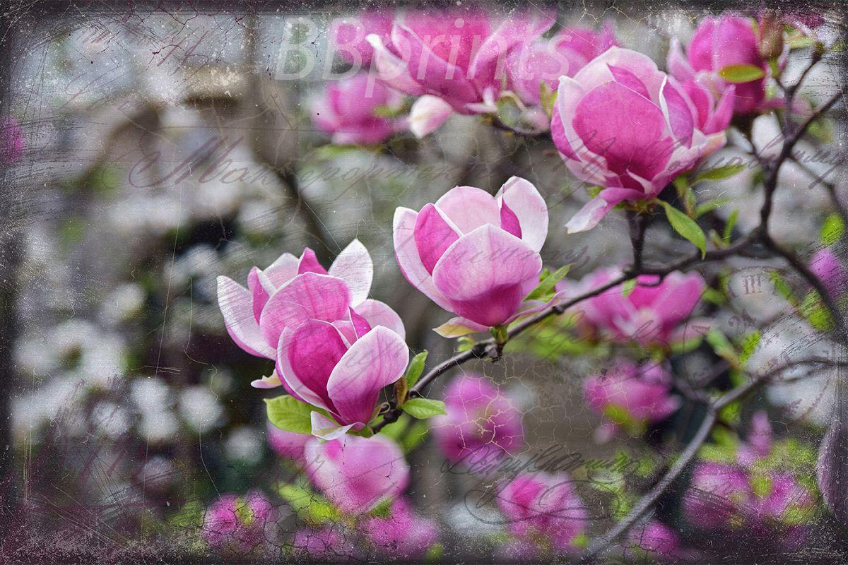 Nature photo, floral photo, spring photo, magnolia photo example image 1