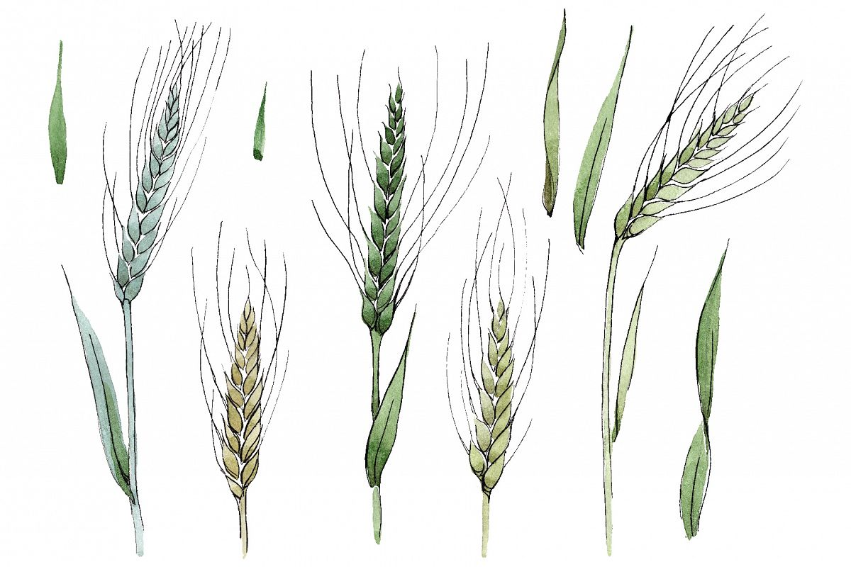 Spike of wheat Watercolor png example image 1