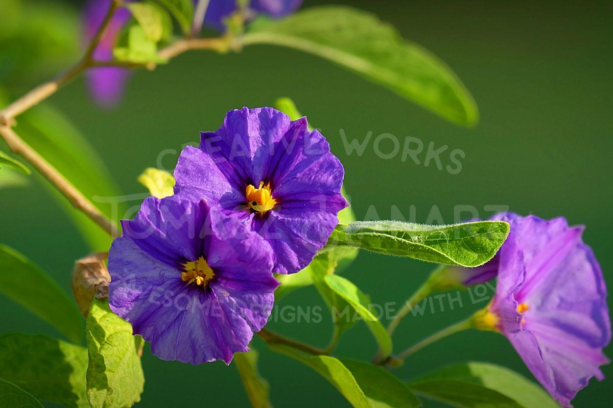 Morning Glory Flower example image 1
