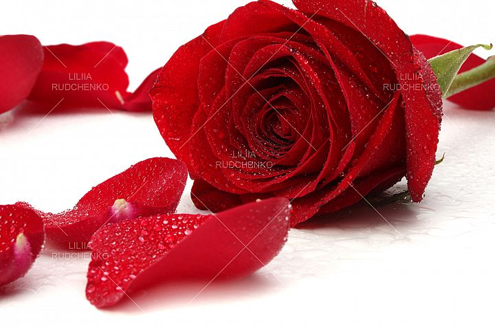 red rose petal with drops