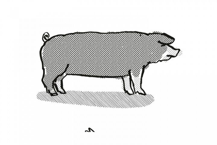 Poland China Pig Breed Cartoon Retro Drawing