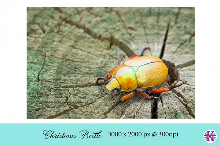 Christmas Beetle Photo JPG