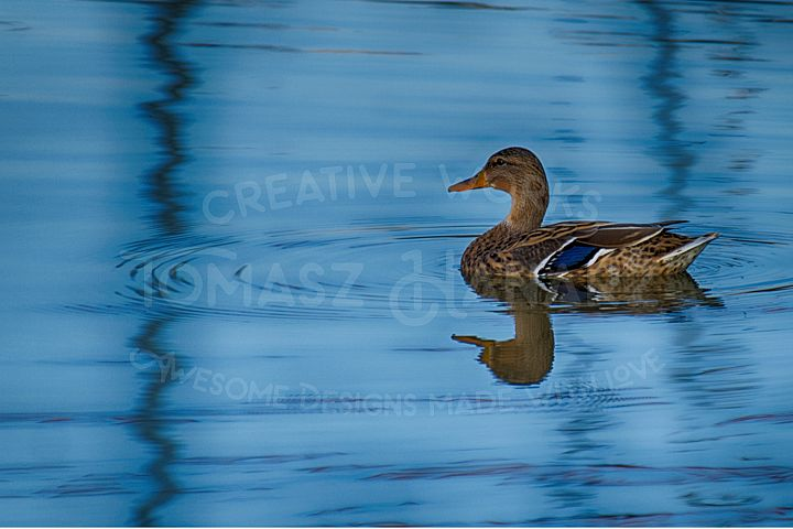 Colorful Duck On The Lake