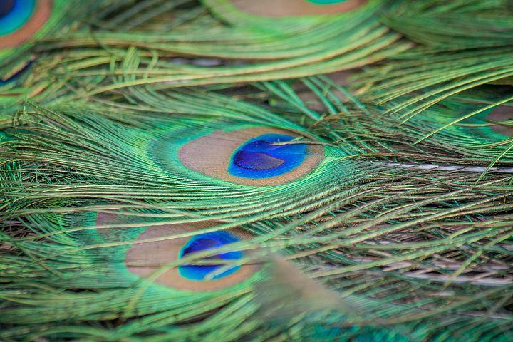 Peacock photo 21