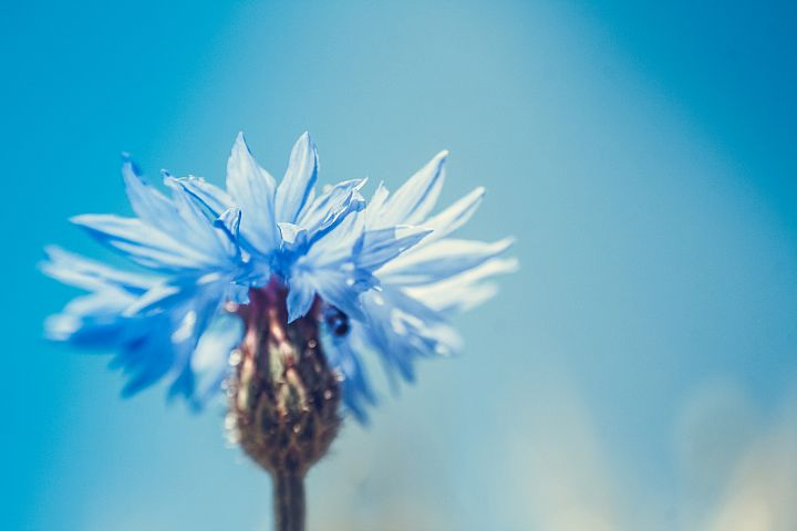 Cornflower photo 5