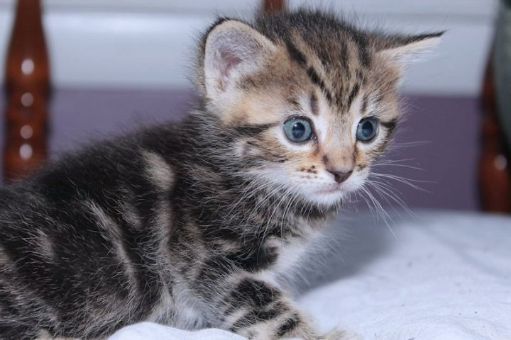 ADORABLE BROWN TABBY KITTEN