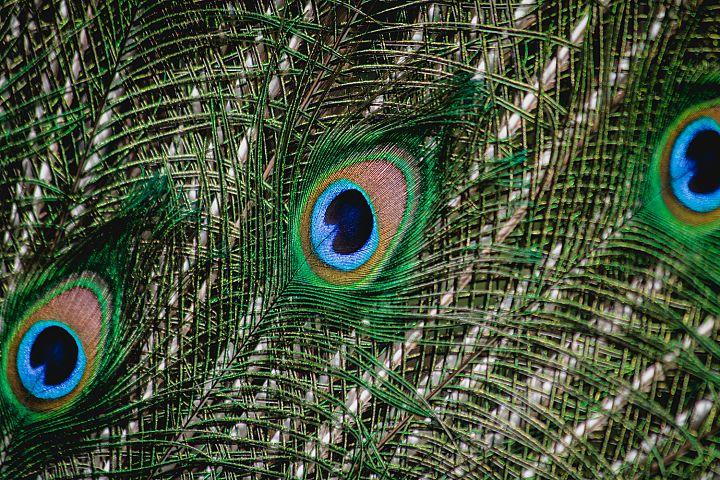 Peacock photo 3