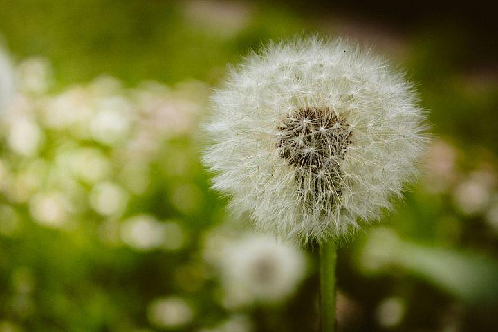 Dandelion photo 1