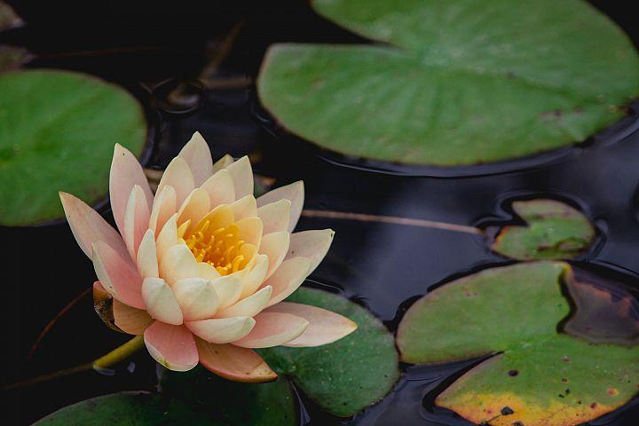 Lotus photo 31