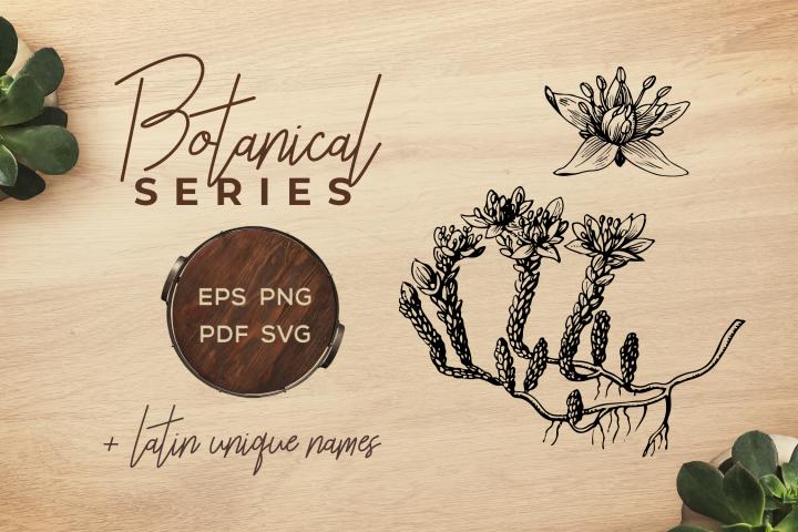 Botanical Vintage Flowers - Illustration Goldmoss stonecrop