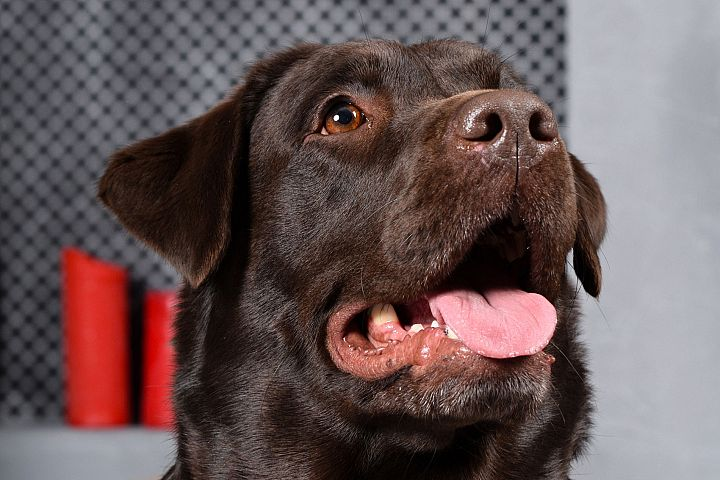 Dog Chocolate labrador