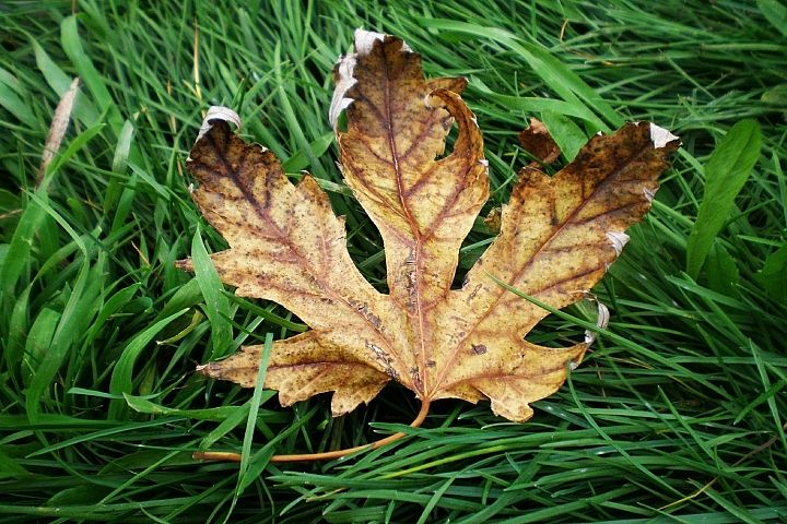 Autumn leaf on the green grass