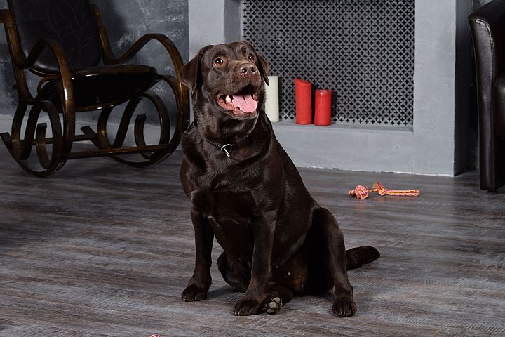 Dog Chocolate Labrador sits