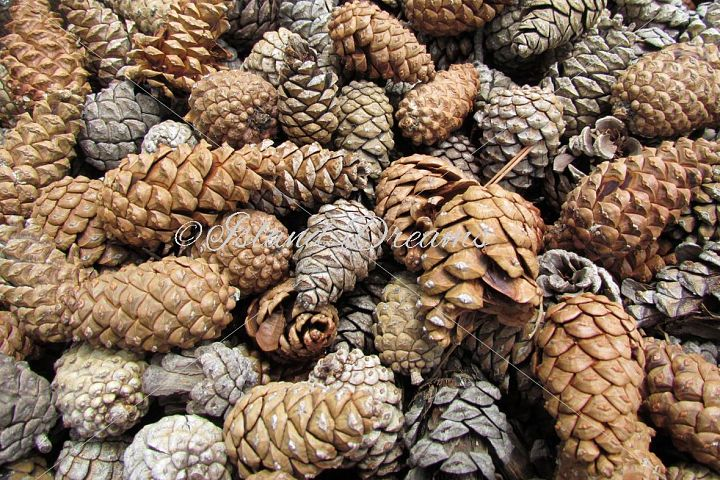 Fir Cone Background
