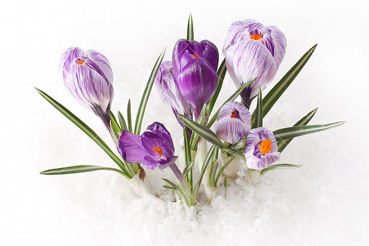 Snowdrop crocus flower in snow