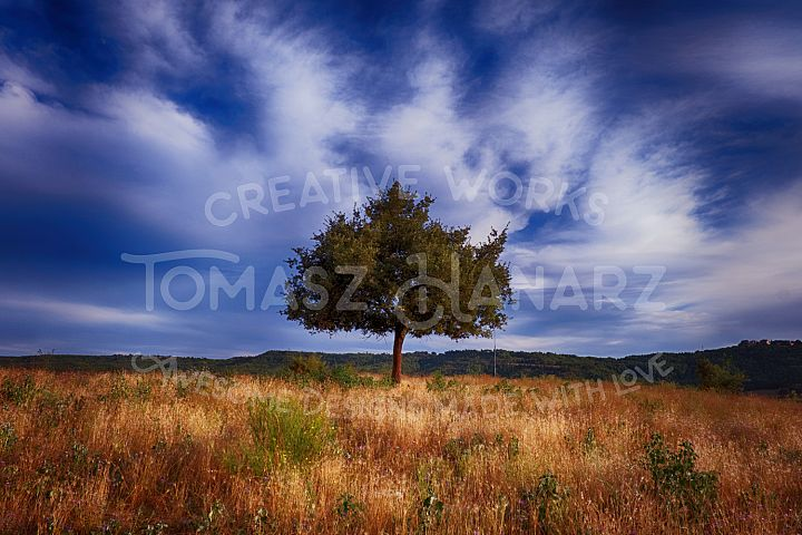 Alone Tree In The Field