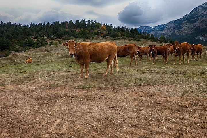Herd Of Cows Pasting In The Mountain