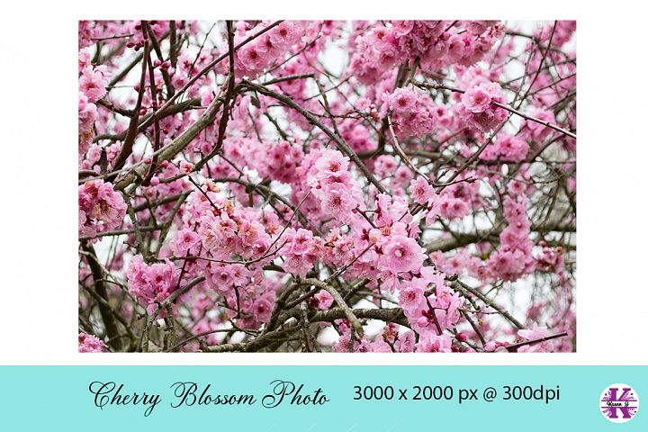 Cherry Blossom Photo JPG