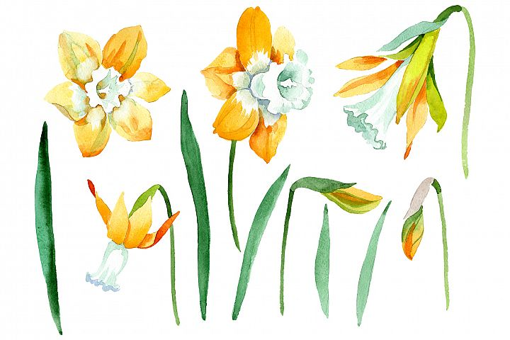 Yellow Narcissus Watercolor png