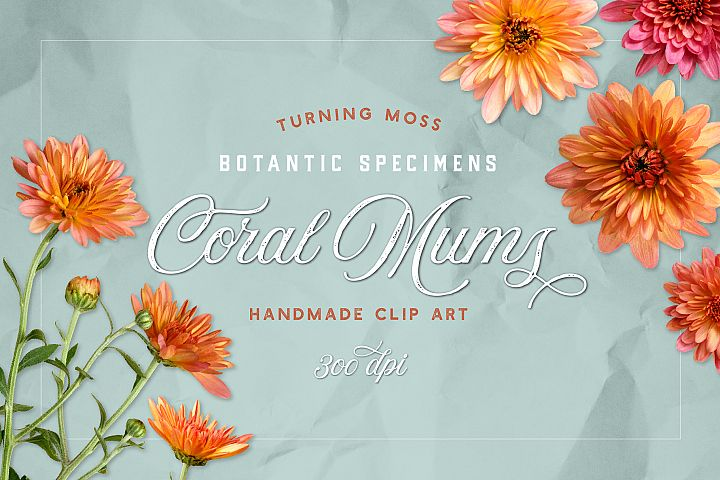 Coral Mums - Realistic Flowers - Isolated Botanic Objects