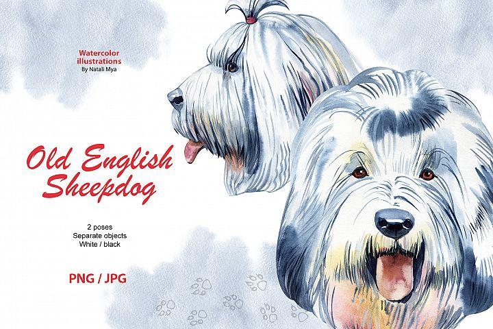 Watercolor dog. Old English Sheepdog