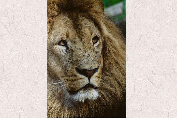 Lion photo 6