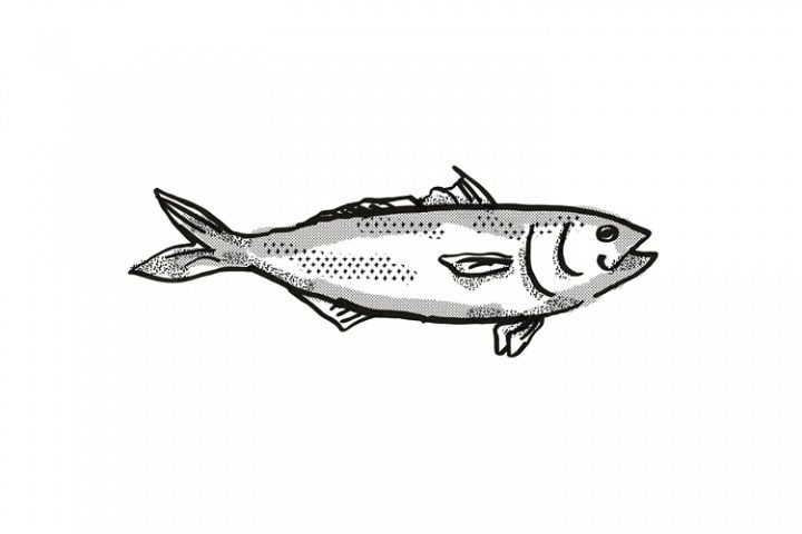 Eastern Australian Salmon Fish Cartoon Retro Drawing