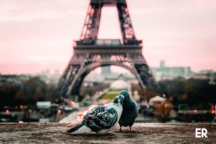 Photography of gray and black pigeons behind Eiffel Tower