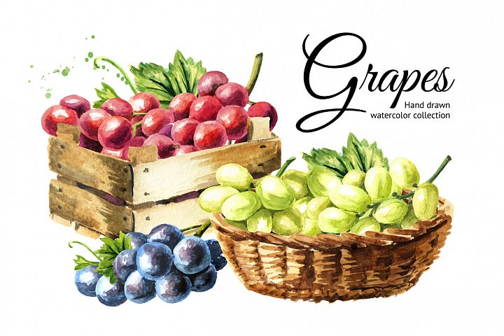 Grapes. Watercolor collection