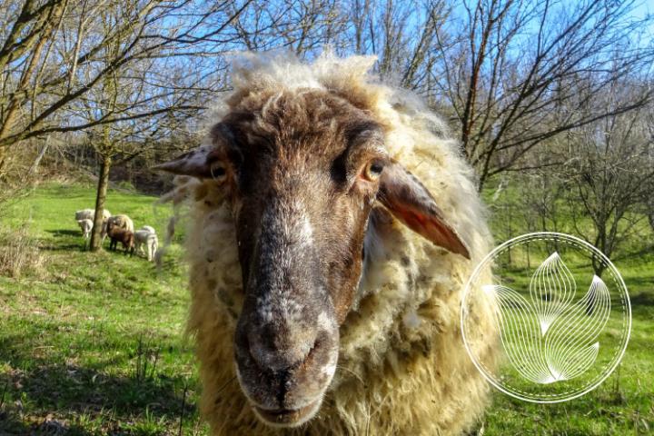 Sheep photo, close view