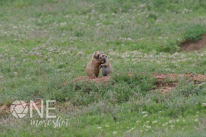 Prairie Dogs Devils Tower South Dakota Stock Photo